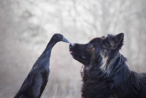 Просто вместе: неожиданная дружба между собакой и уткой дружба животных, животные, мир животных, необычная дружба, собака, утка, фото животных, фотографии животных