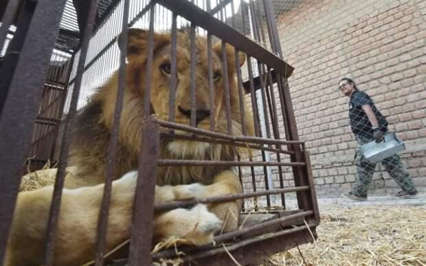 Кормление льва.