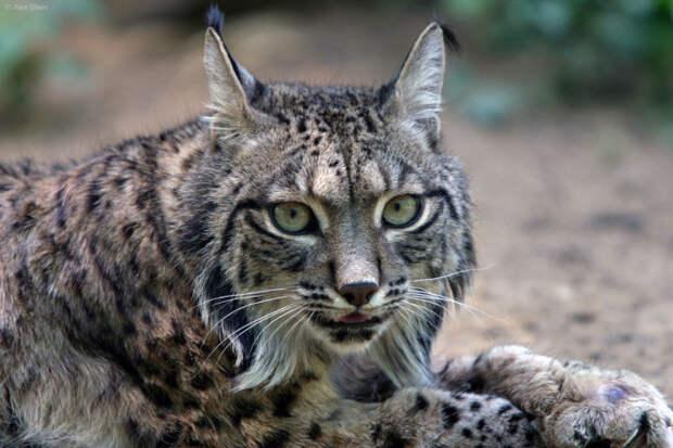 7.  Иберийская (испанская рысь) кошки, природа