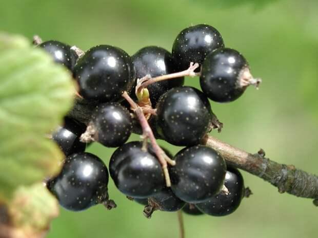 Черная смородина в органическом земледелии
