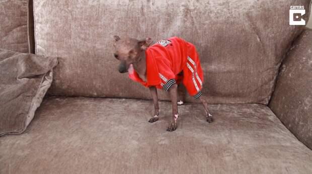 Хрупкая собачка пережила рак кожи, но не сдалась недугу болезни животных, истории спасения, история спасения, помощь животным, собака, собаки