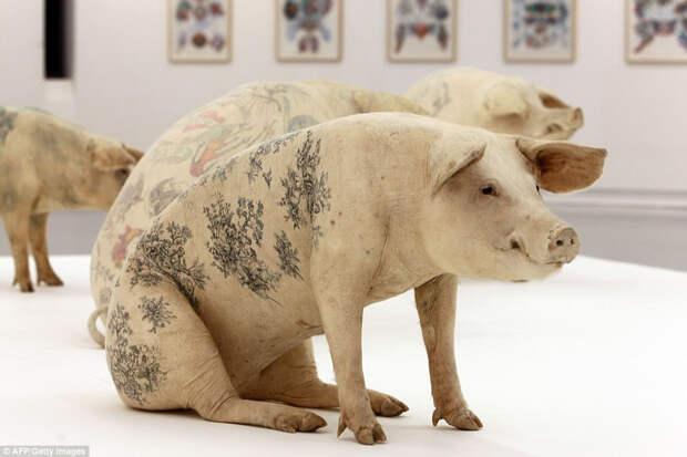 9.В 2010 году несколько татуированных свиней были представлены на выставке в Музее современного искусства в Ницце, Франция.