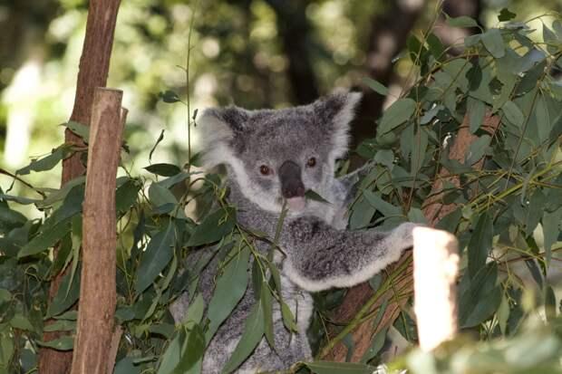 В Австралии объявили сбор средств для пострадавших от лесных пожаров коал