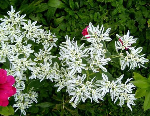 Цветок «Богатая невеста» - уход и размножение