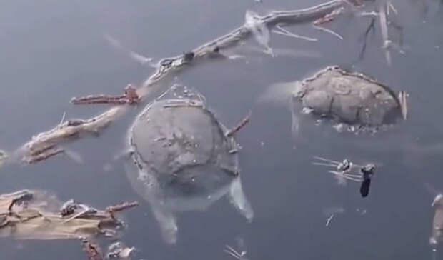 Десятки редких черепах погибли в охраняемом озере заповедника под Воронежем