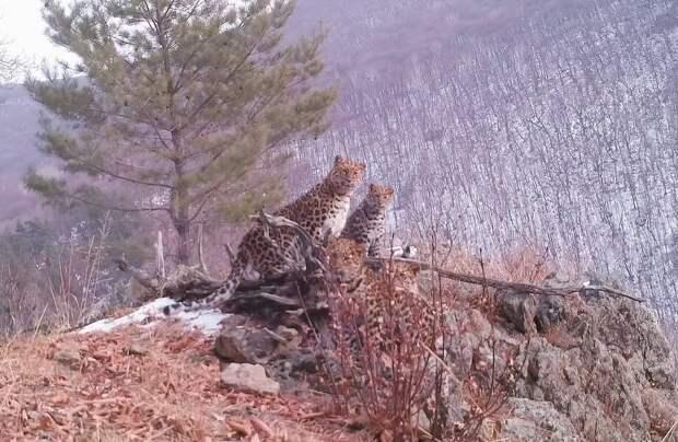 Сразу четыре самых редких леопарда одновременно попали на видео
