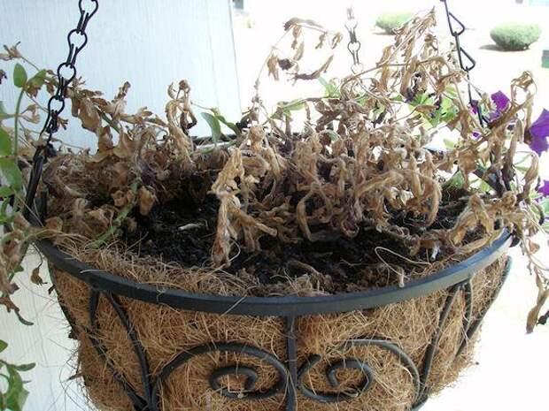 Все секреты выращивания прекрасных петуний