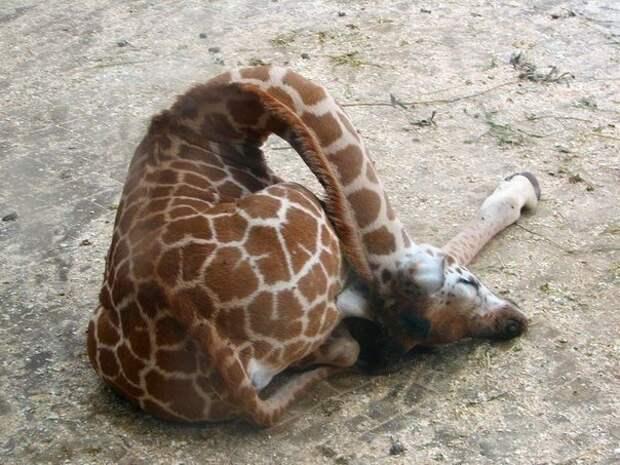 Так спят жирафы..