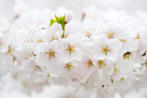 Цветущая вишня  весна, деревья, цветы