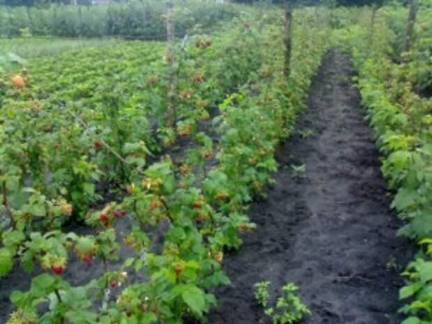 Посадка малины в траншею фото