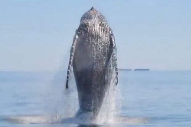 Как кит своих спасателей танцем отблагодарил