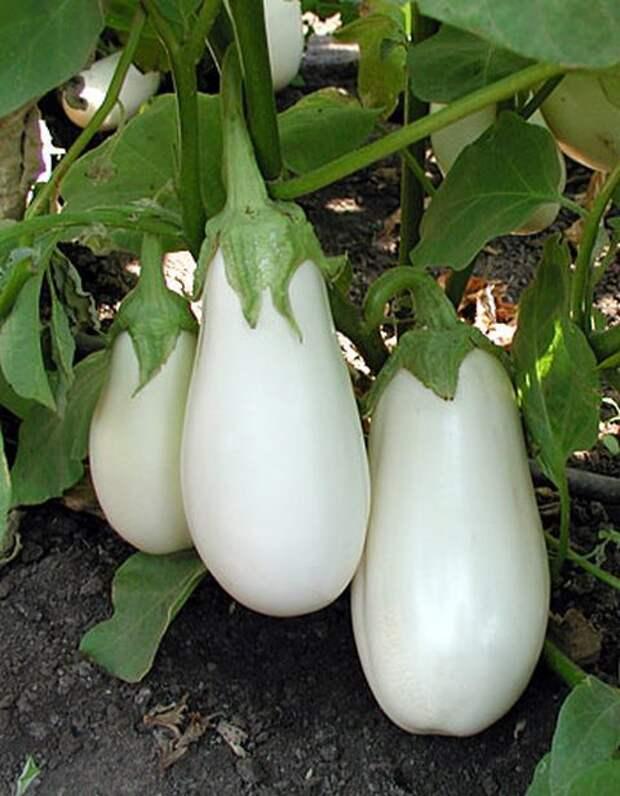 А вы выращивали белые баклажаны?