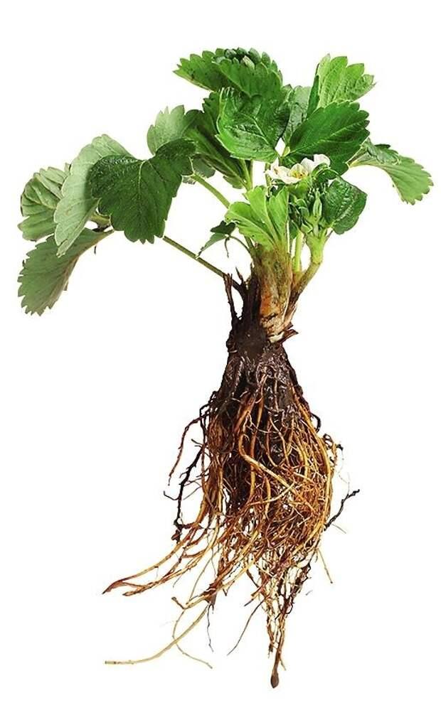 Качественную рассаду выкапывают из грунта поздней осенью, когда у нее уже достаточно развиты и корневая система, и надземная часть.