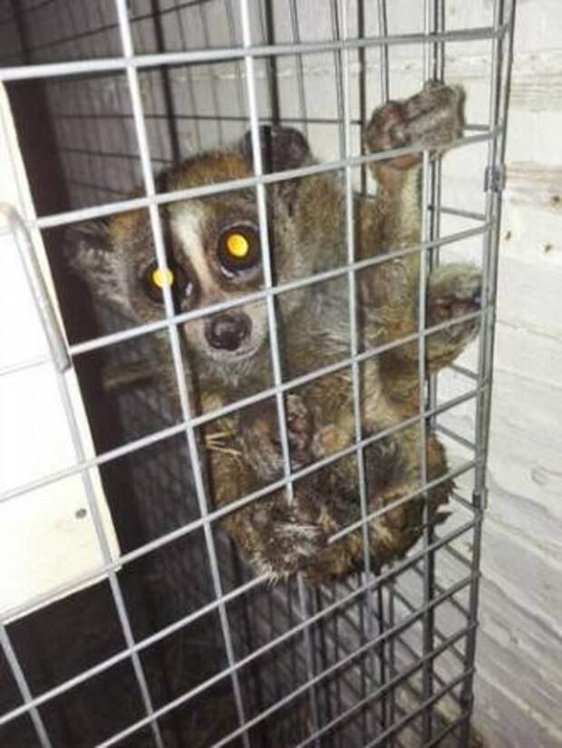 В Москве пойман контрабандист редких животных: Обезьяны и лори нашли новый дом