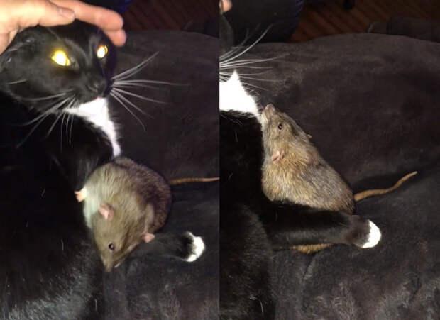 Кошка подружилась с крысой и вылизывает ее как котенка