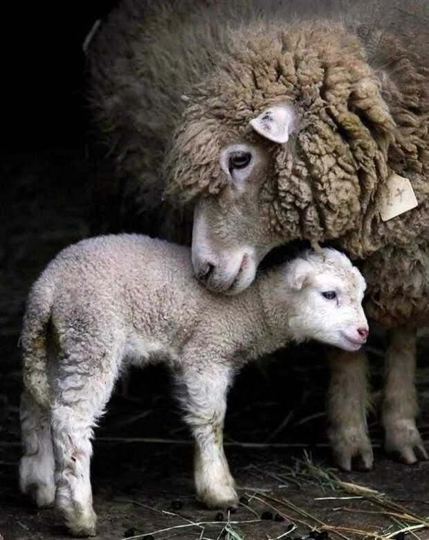 Овечка с ягненком детеныши, дети, животные, забота, звери
