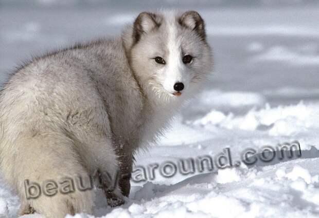 Песец (полярная лисица)