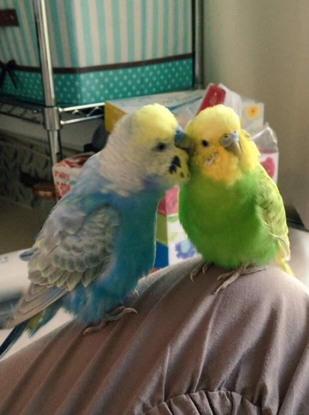 Как выглядит ужин пары подружившихся попугайчиков