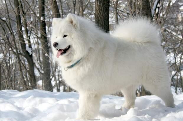 Самоед, самоедская лайка, фото породы собак фотография картинка