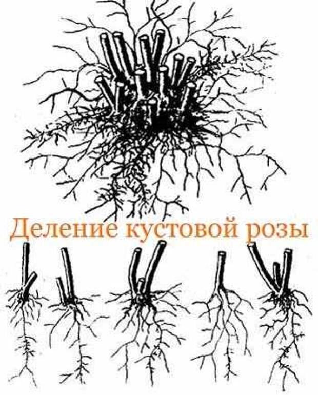"""Размножение кустовых роз Источник: """"Размножение кустовых роз -"""