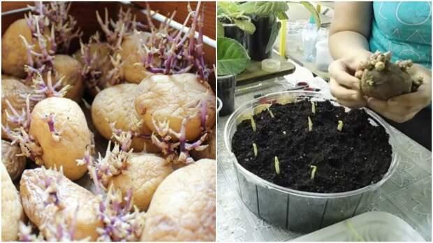 Какая польза от ростков проросшего картофеля, которые хозяйки предпочитают выбрасывать