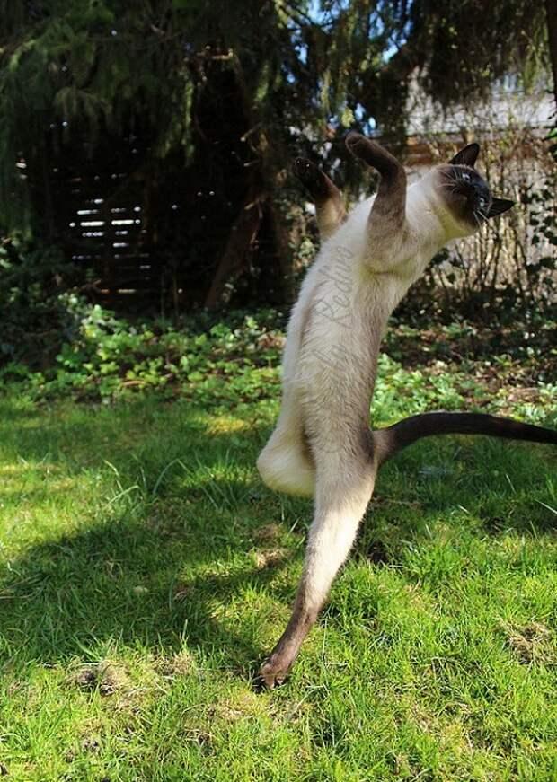 Сиамские кошки. Красивые фото. Кот в прыжке