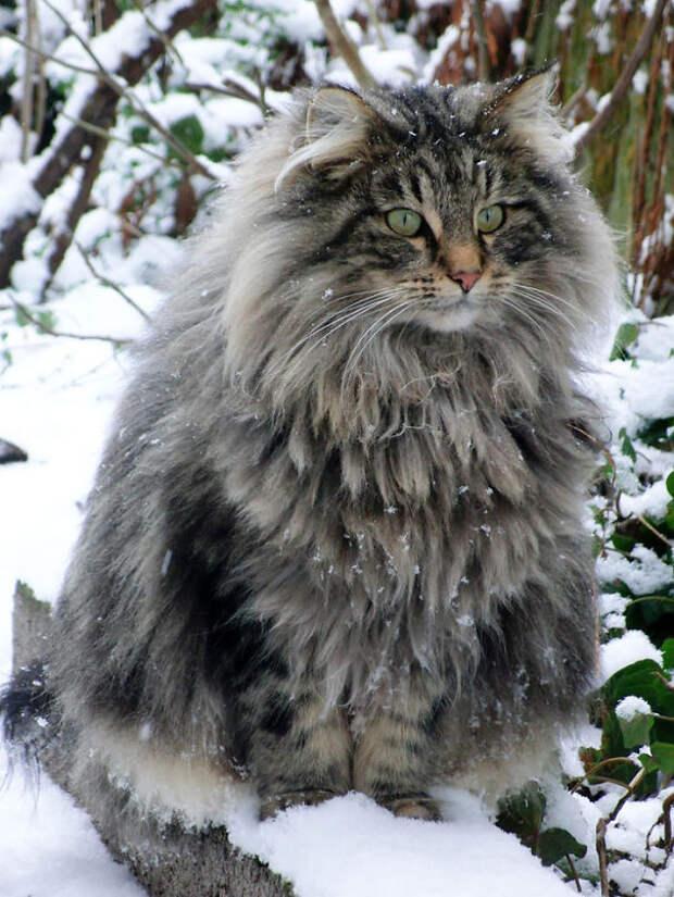 10 самых пушистых кошек в мире