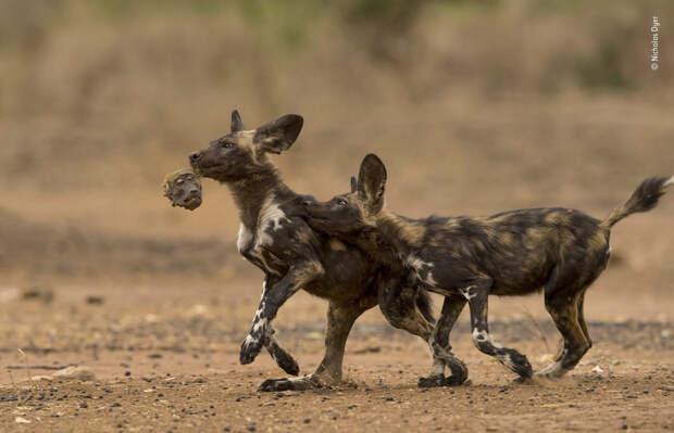 14 сногсшибательных работ финалистов конкурса Wildlife Photographer of the Year 2018