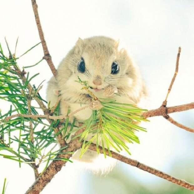 Огромные глаза белки и крошечные лапки настолько прекрасны, что животное даже стало своеобразным талисманом островитян: её изображение используется на железнодорожных билетах.