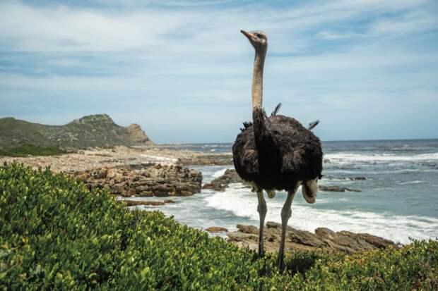 Мифы и факты о страусах