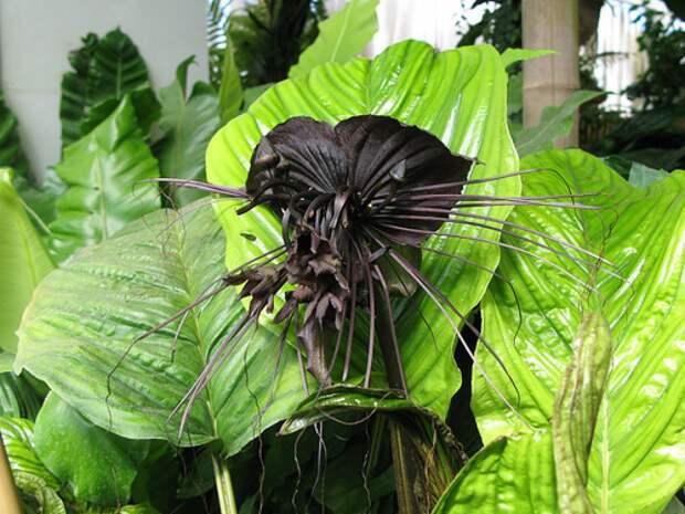 Такка- черная, белая или Летучая Мышь интересное, природа, растения, цветы