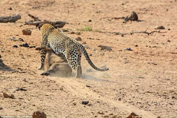 Обладание призом: Хищник начинает тянуть добычу по пыльной дороге после победы в битве бородавочник, животные, леопард, охота, природа