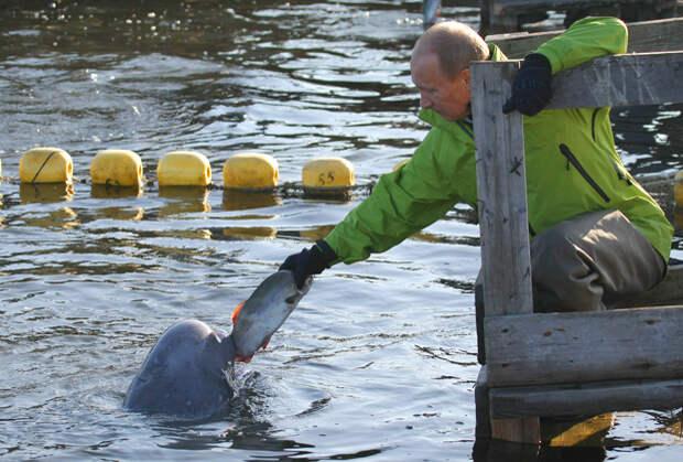В 2009 году Путин покормил белух, содержащихся в вольерах на острове Чкалова в Охотском море