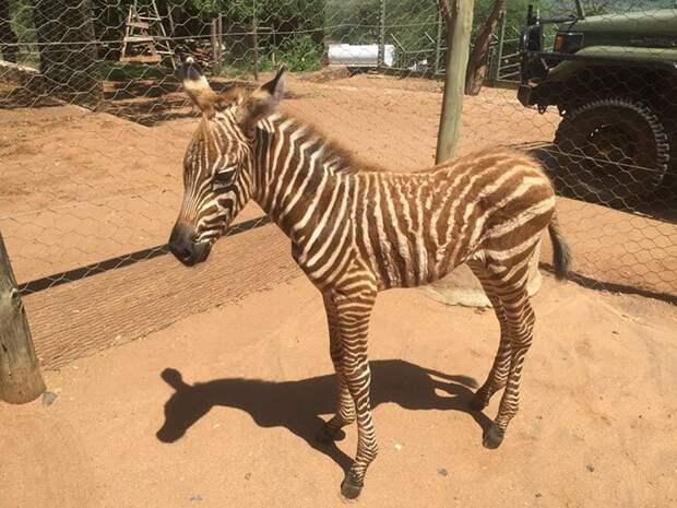 Как спасти маленькую зебру от гибели: рецепт из Кении