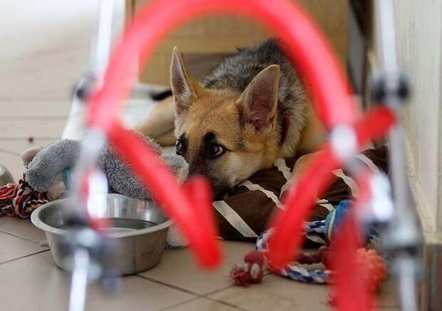 Жизнерадостный щенок-инвалид