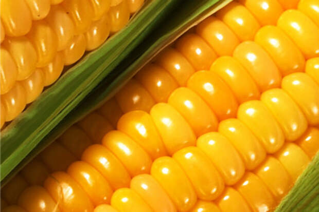 Семена кукурузы купить цена продажа гибрид кукурузы гмо Cernel Global Holding N.V Украина