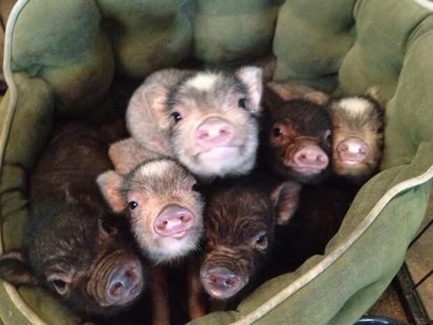 Мини-пиги: свинки, покорившие мир. Они составят достойную конкуренцию котам и собакам...