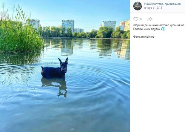 Фото дня: доберман охлаждается на Головинских прудах