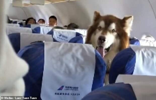 Авиакомпания пустила на рейс огромного маламута Маламут, видео, животные, мило, питомцы, самолет, собака, собаки