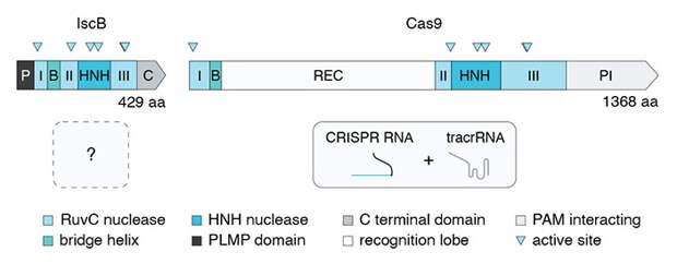 Рис. 2. Схема строения эндонуклеаз IscB и Cas9