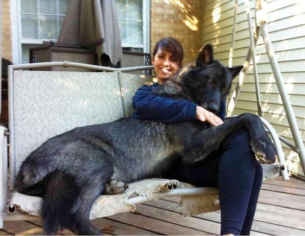 21. Гибрид черного волка размер, собака
