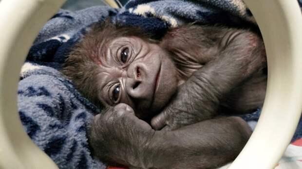 Долгожданный малыш: вамериканском зоопарке горилла родила редкого детеныша