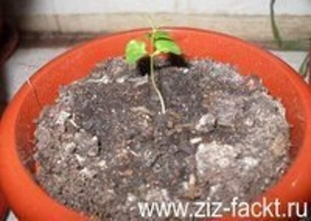 Выращиваем гранат дома