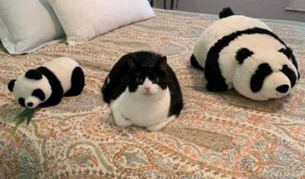 Кот и панды