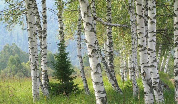 Ухожу в лес: 6 деревьев которые помогут заблудившемуся