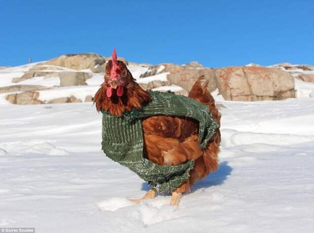 Ручная курица