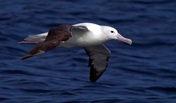 южный королевский альбатрос (Diomedea epomophora), фото птицы фотография