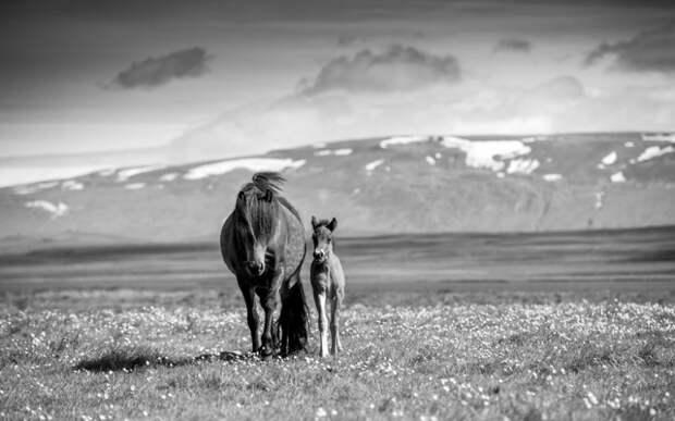 Грация лошадей в фотографиях Керри Хендри
