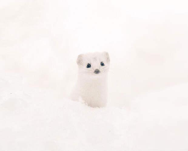 Белый хорек животное, остров, хоккайдо