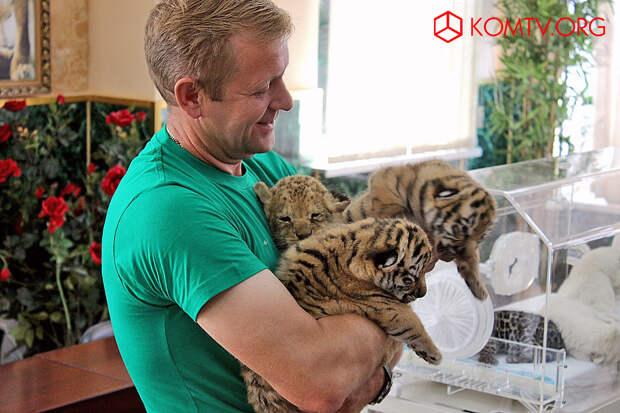 Директор парка Олег Зубков с амурскими тигрятами.